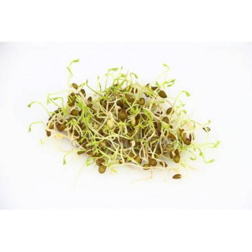 Semínka ke klíèení Zelená èoèka 20 g